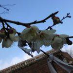 天津神社で梅が開花
