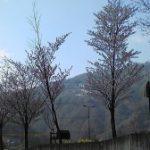 道の駅小谷周辺の桜