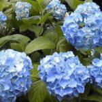 美山公園紫陽花