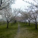 糸魚川桜開花情報2012@姫川桜堤散り始め
