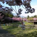 糸魚川桜情報2013フォッサマグナミュージアムまがたま池八重桜満開