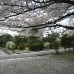 糸魚川美山公園桜情報2014