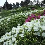 金子つつじ園開花状況2014咲き始め5月13日