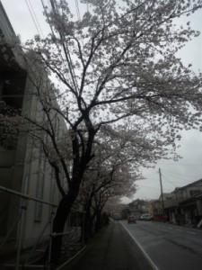 糸魚川桜開花情報2015糸魚川中学校七分咲き
