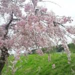 第7回ひらうし桜まつり2015