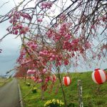 海川しだれ桜