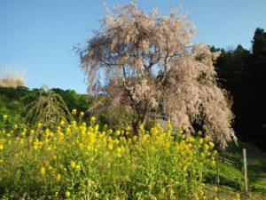 糸魚川市徳合しだれ桜の里