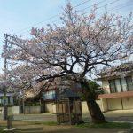 糸魚川桜開花情報2018糸魚川市民会館八分咲き