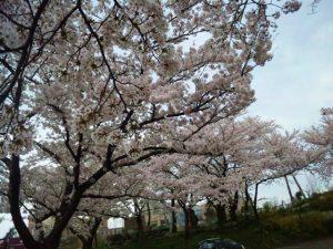 糸魚川桜開会状況2018名引山総合グラウンド満開間近