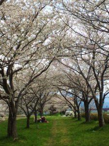 姫川堤防桜2020