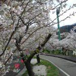 名引山総合グランド桜2020