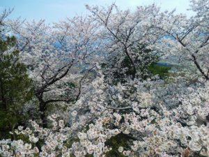 美山公園桜2020