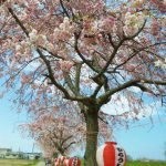 海川しだれ桜2020