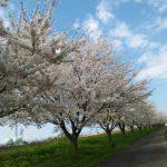 海川堤防桜2020